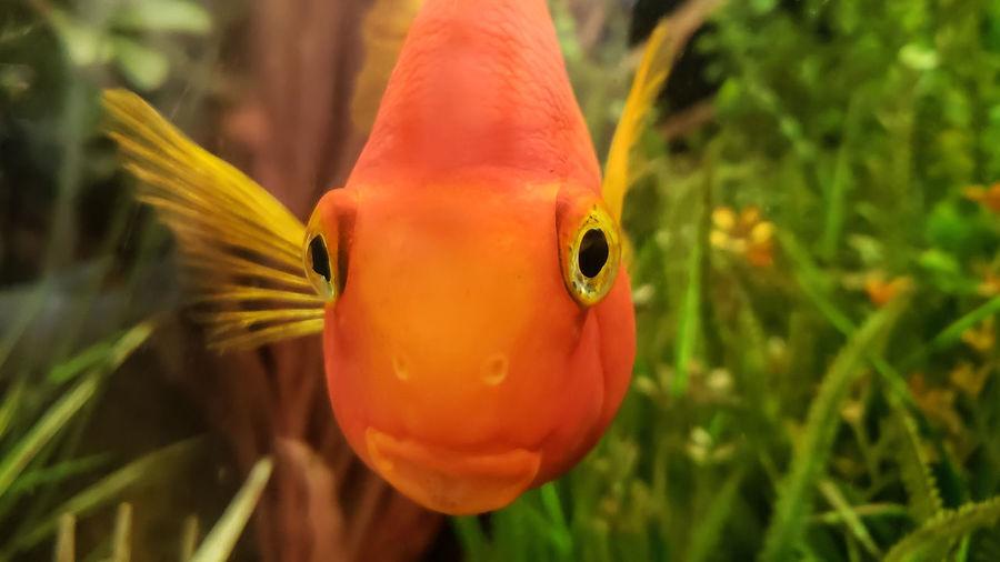 Glub. Staring Contest Animal Aquarium Close-up Curious Fish Fish Eyes Fish Tank Focus On Foreground Glum Goldfish No People One Animal Orange Color Short Depth Of Field Swimming Underwater Water