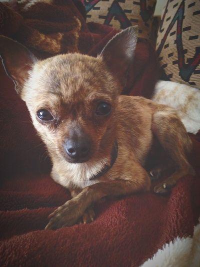 Princess Teacupchihuahua Chihuahua