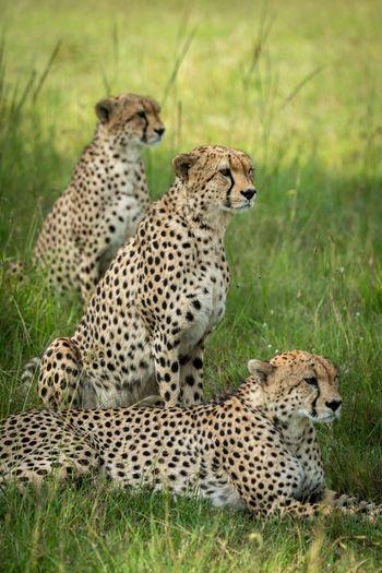Three cheetahs sit and lie in row