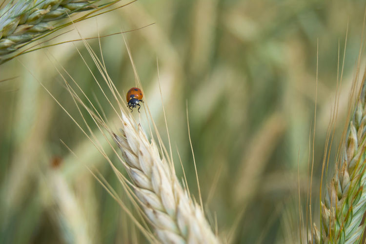 Belarus Nature Daytime Nature Agriculture Animal Themes Animal Wildlife Animals In The Wild Beauty In Nature Beauty In Nature Beetle Cereal Plant Close-up Crop  Day Insect Invertebrate Ladybug Nature No People One Animal Outdoors Plant Selective Focus Wheat
