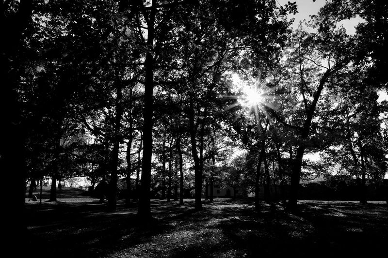 Tree Plant Sunlight Nature Land Silhouette Beauty In Nature Sunbeam Sky Sun Growth Tranquility Outdoors Park No People Day Forest Lens Flare Tranquil Scene Scenics - Nature Streaming