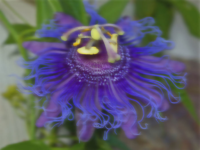 Close-up Comes And Goes EyeEm Best Shots Flower Head Happy How I Choose To See Things Passion Flower Purple Romantic Soft And Sinewy Softness