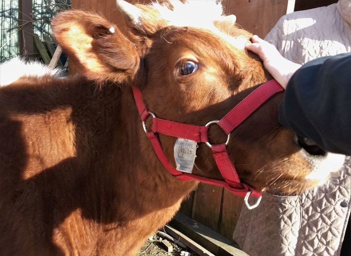 Nature Animal Head  Animal Themes Cow Farm Animal Close Up Friendly Animals Petting Animals Tame Animals