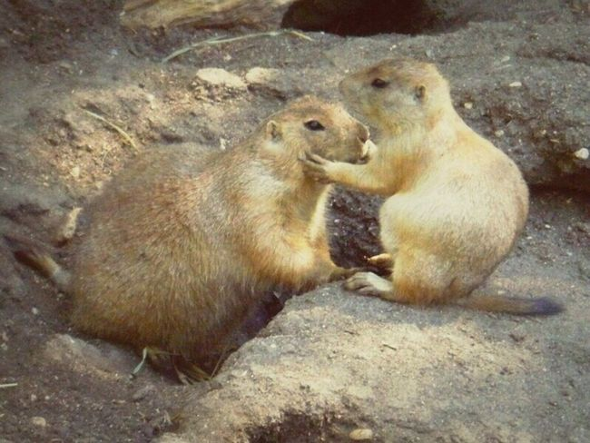 I love this shot because of the moment. One way prairie dogs communicate, is by rubbing their teeth against each others' teeth, however it makes for a very intimate looking embrace from the human perspective. I don't love the quality, just wanted to share the capture :). Two Animals Interaction Communicating  Hug Kisses Intimate Loving Bond Prairie Dogs Zoo Animals  Talking Embrace Prairiedogs