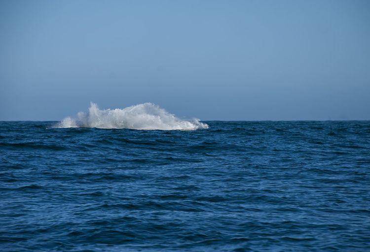 Grey whales in their winter birthing lagoon at adolfo lopez mateos in baja california