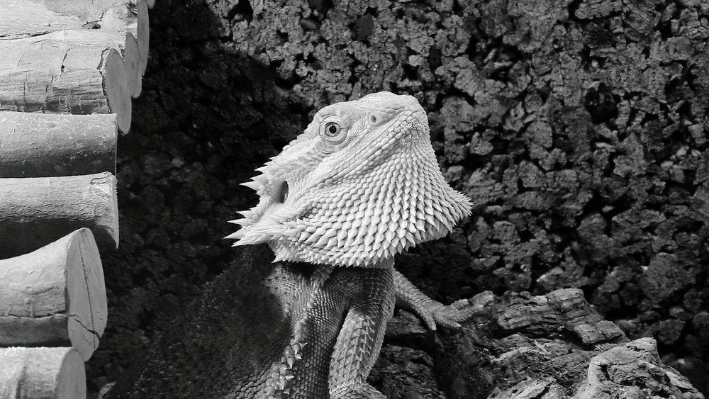 Young Animal Selective Focus No People Nature Animal Themes Animal Head  Animal Repile Bearbed Dragon Animalphotography Terrarium Pogona