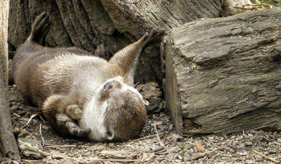Otter Resting Besides Log At Zoo