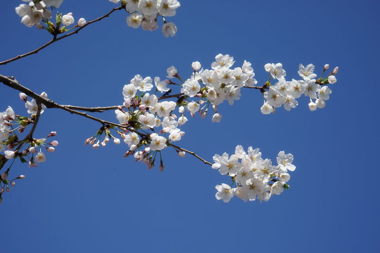 Cherry Blossoms Pink Sakura Beauty In Nature Blue Sky Outdoor Season  Spring Spring Flowers Sunny Day 🌞 White