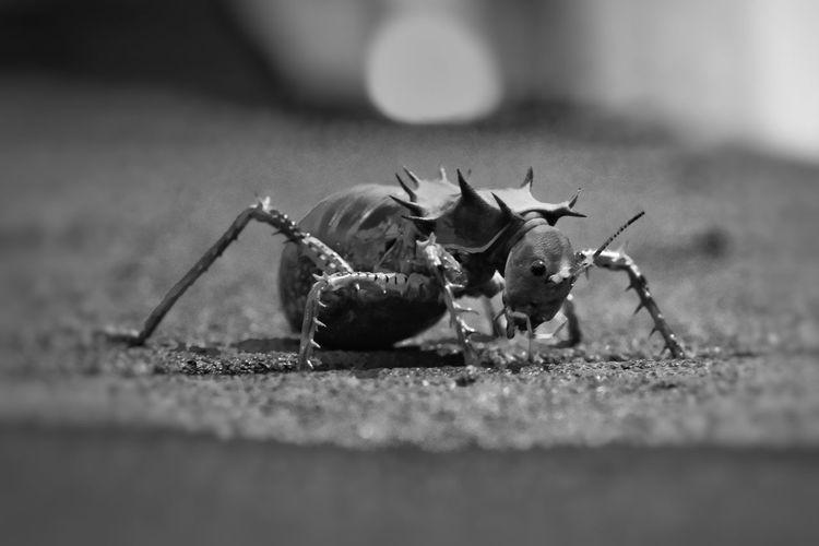 Afrikanische Kampfgrille African Battle Cricket Schwarz & Weiß Black And White Selective Focus Afrikanische Kampfgrille Animal Themes Close-up Insect Grasshopper Animal Antenna Beetle Bug