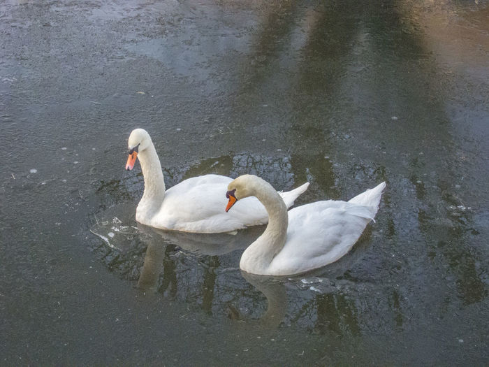 Swans in an ice