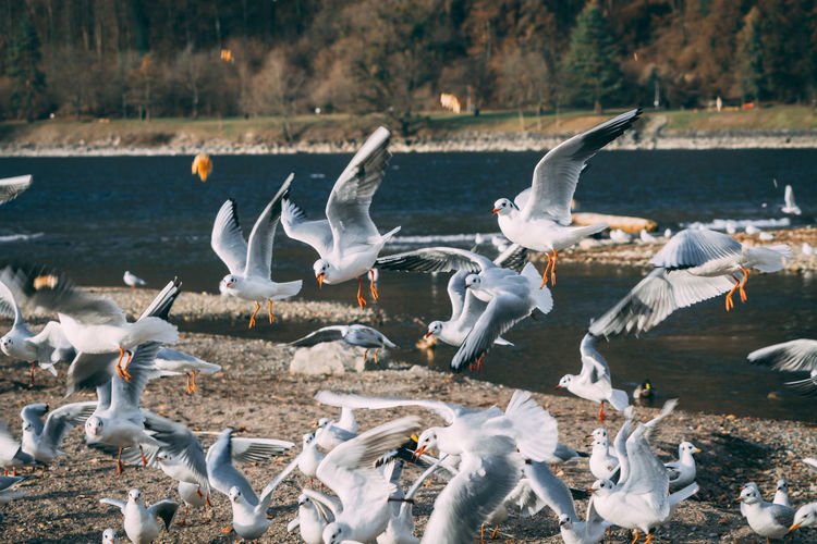 Seaugull Bird Animals In The Wild Animal Wildlife Spread Wings Flying Large Group Of Animals Outdoors Nature Beach Animal Themes Water Lake Seagull Day Walenstadt Animal Seemöwe Sony A6000 Photography Nature Animals In The Wild Animal Wing Landscape Etifumi