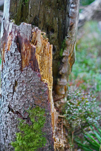 Earlier Moss & Lichen Bark Broken Tree Close-up Day Focus On Foreground Former Times Land Moss Nature No People Old Outdoors Plant Shabby Textured  Tree Tree Trunk Trunk Wood - Material Wooden