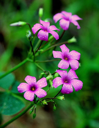 Beauty In Nature Blooming Close-up Flower Flower Head Flower In Te Wild Fragility Freshness Growth Nature Outdoors Petal Pink Color Plant Purple