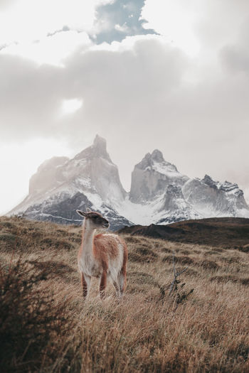 Guanaco standing on land against cloudy sky