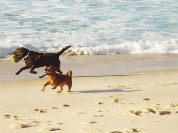 Dogs Playing Together Dog Pets Domestic Animals Beach Sand Animal Themes Running Motion Playing Nature Water No People Day Wave Beauty In Nature Sea