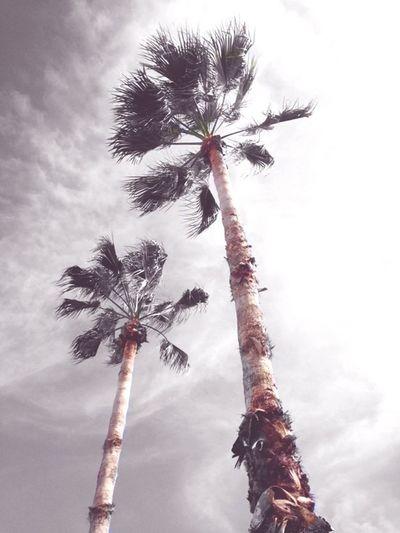 Palm Trees First Eyeem Photo Florida Palmtrees Palm Trees Florida Palm Trees Sky And Palm Trees The Essence Of Summer