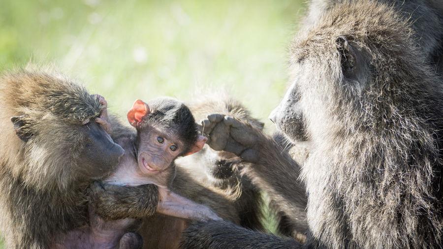Close-up of monkey family
