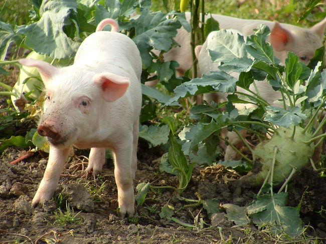 Piggies in the Garden Animal Animal Feed Close-up Garden Grazing Kohlrabi Pig Piggies Piggy Pork Small Pig