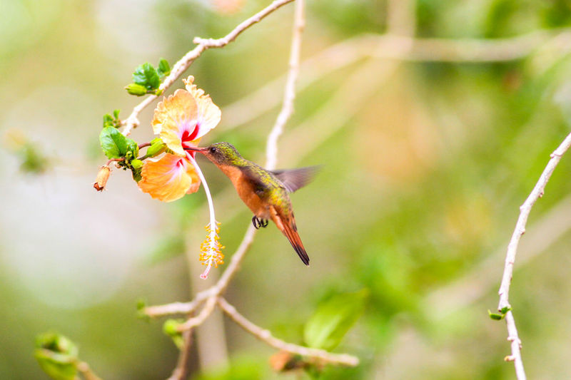 Close-up Of Hummingbird Collecting Nectar From Hibiscus
