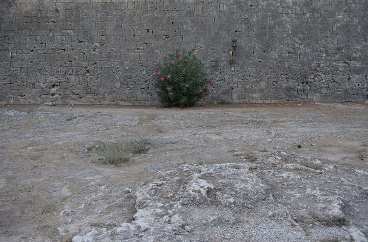 Lonely bush in front of the fortress wall in Rhodes old town Daytime Plant Wall Bush Flowering Bush Flowers Fortress Wall Grey Lonely Plant Outdoors Stone Ground Stone Wall