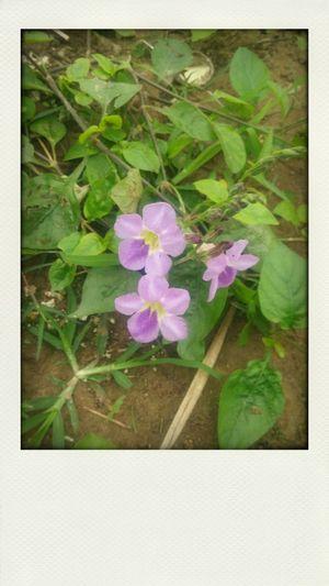 Nhành hoa dại... Thiết ứng Vân Hà