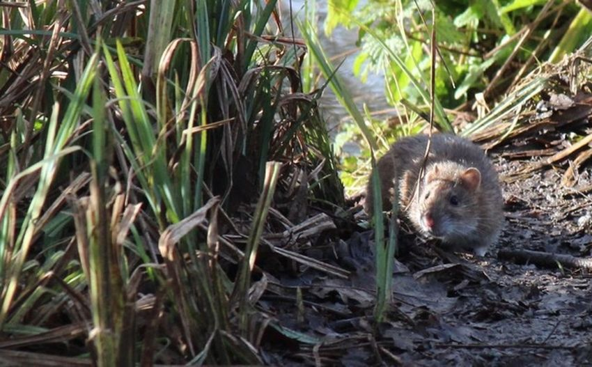 Rat Grass Field Nature Outdoors One Animal Day Animal Themes
