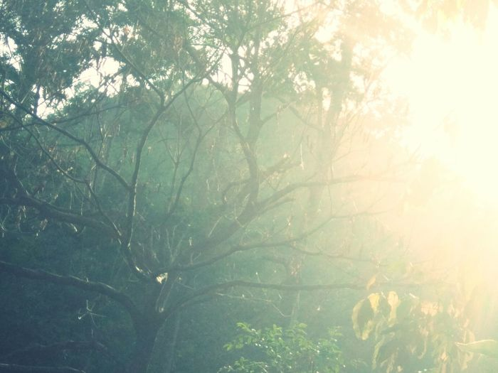 Tree Nature Forest Fog No People Outdoors Branch Beauty In Nature Scenics Growth Freshness Pinaceae Sunlight Day Plant