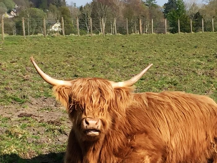 Day Nature Nice Day No People Non-urban Scene Outdoors Rural Scene Scotland Trossachs Green Field Trees Cow Highland Cattle Highland Coo VisitScotland