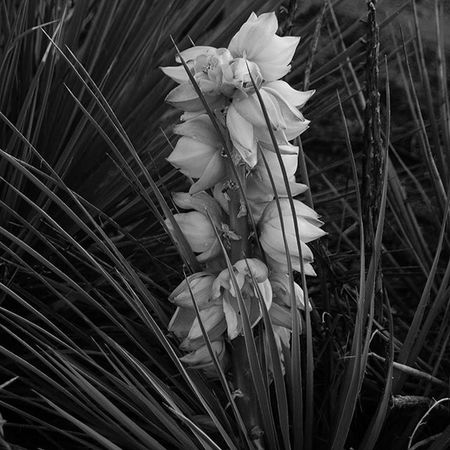 Yucca Spiky Cactus Plant Nature Colorado Gardenofthegods Travel Bnw Blackandwhite Photography Coloradosprings Contrast Nikon D3300