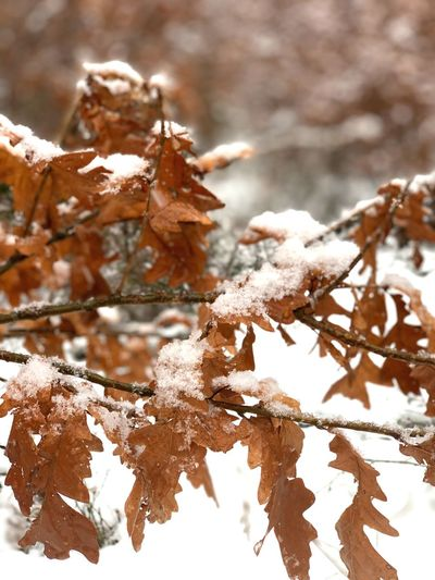 Close-up of brown oak tree leaves with snow Oak Leaves Winter Snow EyeEm Selects Snow Cold Temperature Winter Frozen Tree Plant Focus On Foreground No People Close-up Plant Part Nature Frost