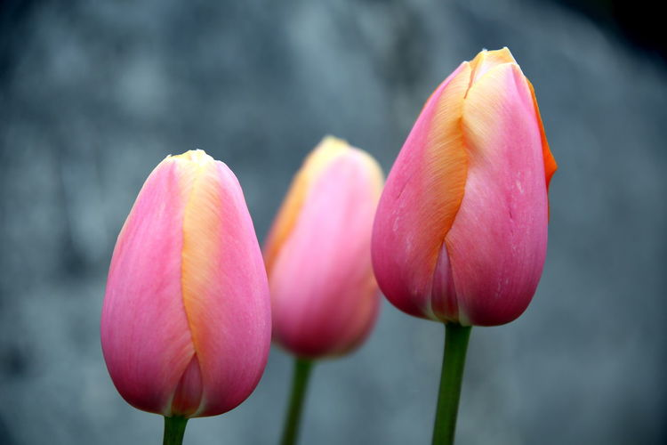 Close up of the corollas of three yellow pink tulips