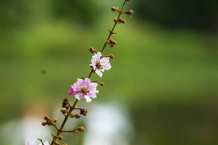 Close-Up Of Cherry Blossoms Growing Outdoors