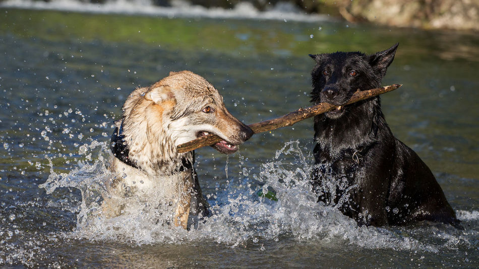 Dogs fighting for a branch Dogs Dogs Playing  Fight Playing With The Animals Competition Contention Czechoslovakian Wolfdog Dog Domestic Animals Ferocious Fierce Fighting German Shepherd Mammal Nature Pets Playing Retriever Striped Two Animals Water Wolfdog Wolfdogs Pet Portraits
