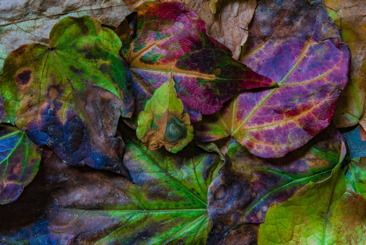 leaf, plant part, autumn, no people, close-up, multi colored, nature, leaves, vulnerability, fragility, plant, directly above, beauty in nature, change, leaf vein, day, dry, outdoors, full frame, backgrounds, maple leaf, purple, natural condition