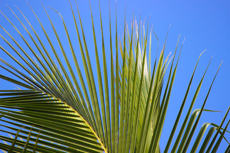 Low Angle View Of Palm Leaves Against Clear Blue Sky