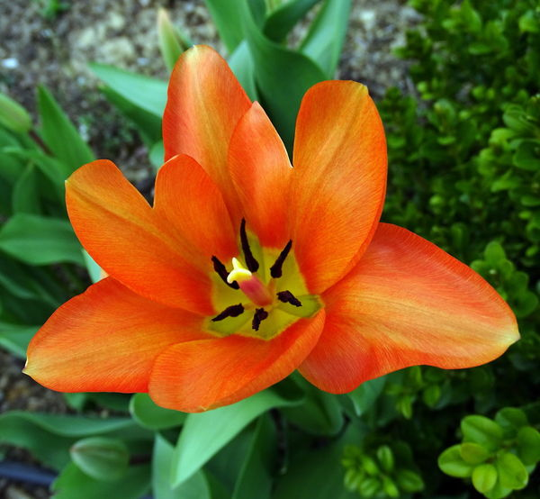 Beauty In Nature Blooming Close-up Day Flower Flower Head Fragility Freshness Green Color Growth Nature No People Orange Color Outdoors Petal Plant Tulip