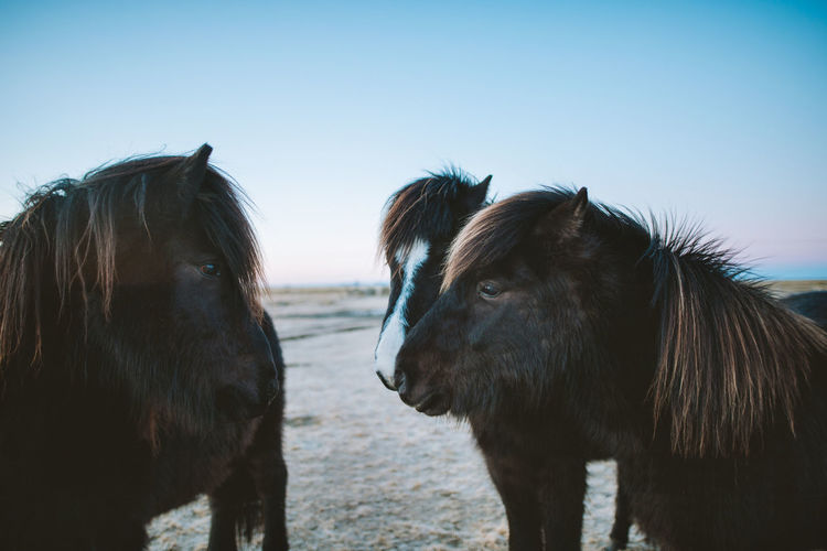 Find more travel inspiration at https://www.instagram.com/simonmigaj/ Beautiful Iceland Pony Animal Animal Hair Animal Themes Beauty In Nature Beauty In Nature Clear Sky Close-up Day Domestic Animals Field Friend Horse Livestock Mammal Nature No People Outdoors Sky Togetherness Two Animals