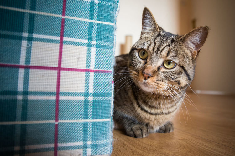 Cat sitting on hardwood floor at home