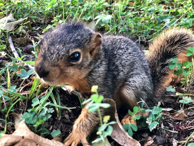 Brave baby squirrel Squirrel! Animal Animal Themes One Animal Animal Wildlife Mammal Rodent Animals In The Wild Nature Plant Land Day Field Vertebrate High Angle View Squirrel Outdoors Close-up