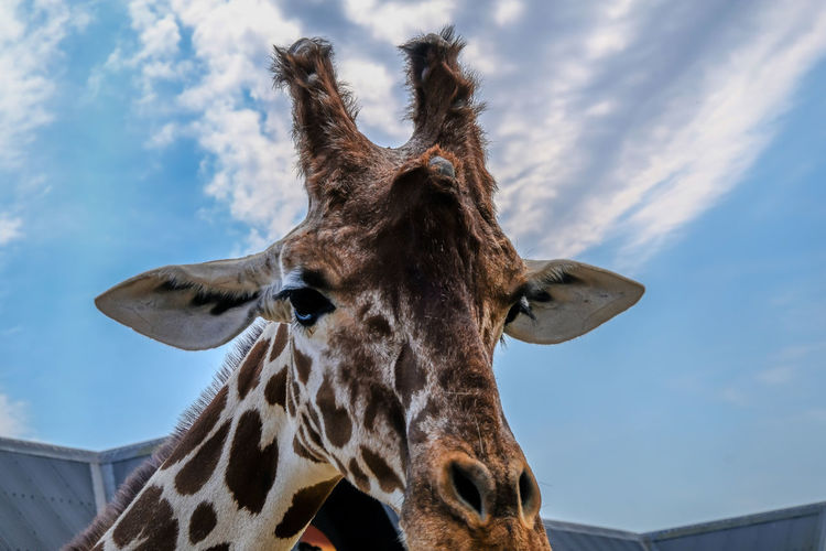 Looking up at a giraffe's head against a blue cloudy sky. Animal One Animal Sky Giraffe Cloud - Sky Mammal Animal Body Part Animal Wildlife Vertebrate No People Animal Head  Low Angle View Nature Animal Markings Animal Neck Outdoors Day Herbivorous Animal Eye Looking At Camera African Wildlife Animals In The Wild Horizontal