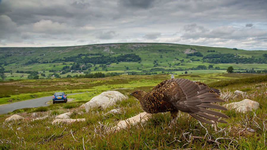 Red Grouse on a cloudy day - landscape with bird Lagopus Lagopus Scotica Beauty In Nature Horizon Over Land Landscape Moor  Nature Non-urban Scene Outdoors Red Grouse Sky Tranquil Scene Wide Angle View