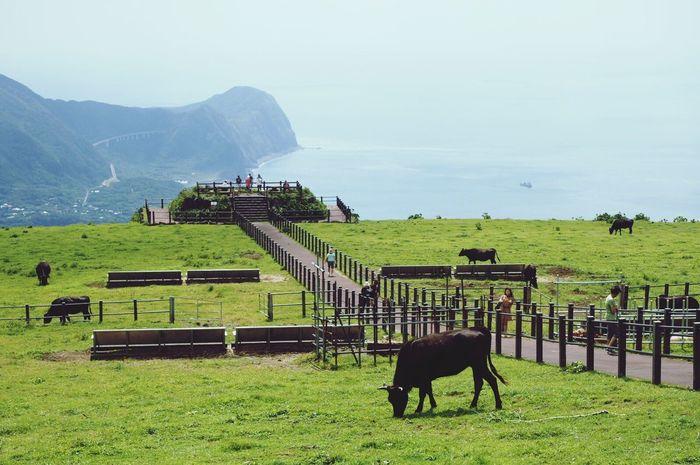 ふれあい牧場 Farm Hachijo-island 牛 Cows 八丈富士 八丈島