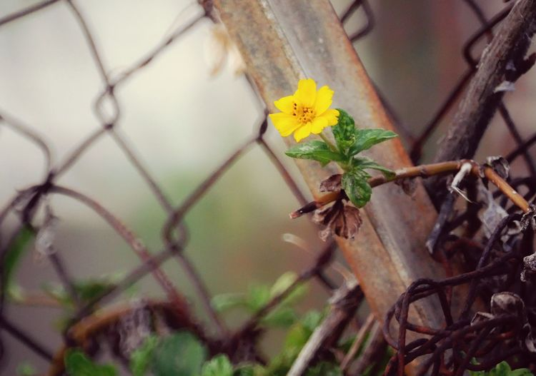 La nature reprend ses droits Nature Photography Naturelovers MRPhotographie Yellow Yellow Flower Barded Wire Tree Close-up Animal Themes