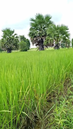 Tree Rice Paddy
