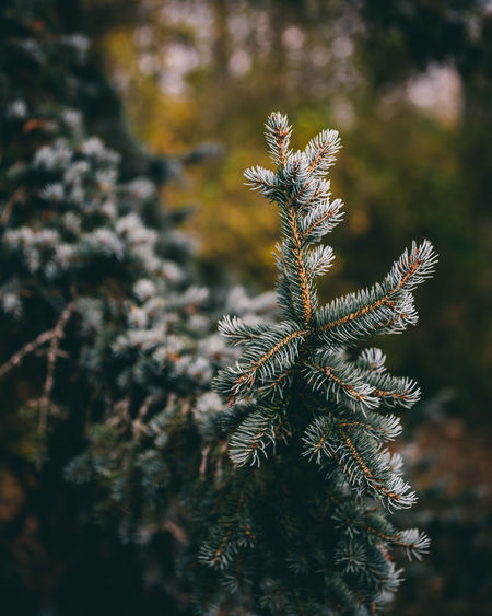 Plant Growth Beauty In Nature No People Nature Tranquility Coniferous Tree Green Color Branch Pine Tree Fragility Vulnerability  Tree Macro Focus Zoom Bokeh Artistic Environment Outdoors Focus On Foreground Selective Focus Close-up Freshness