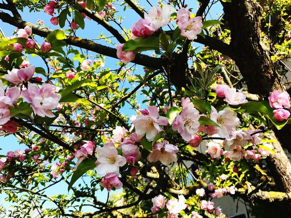 Growth Flower Beauty In Nature Nature Fragility Blossom Tree Freshness Pink Color Springtime Petal No People Branch Outdoors Low Angle View Flower Head Rhododendron Day Close-up Sky