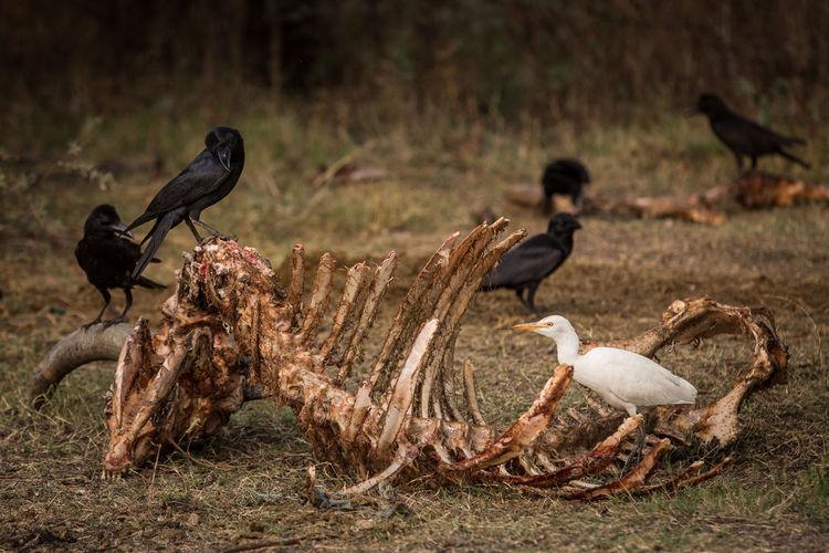 Birds perching on animal skeleton at field