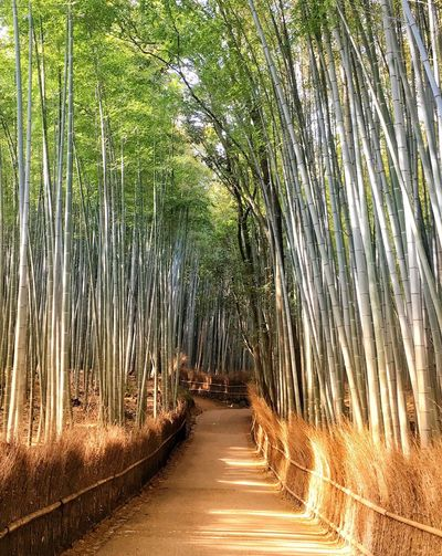 Empty footpath amidst bamboo plants in forest