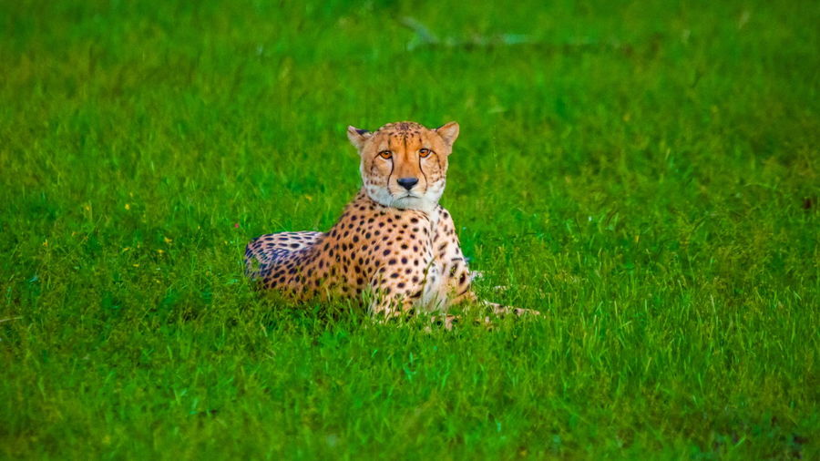 Portrait of a leopard on grassland