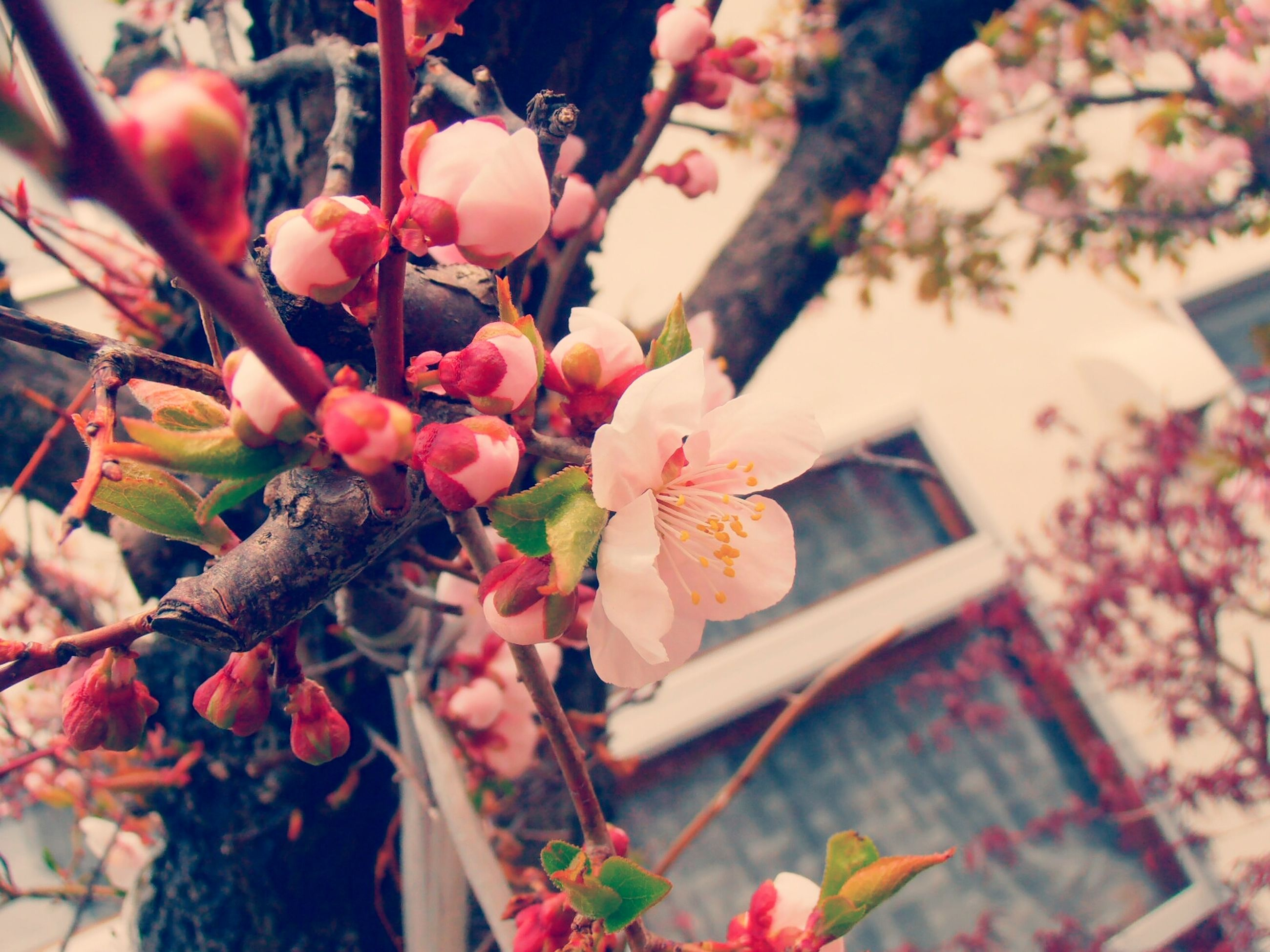 flower, freshness, fragility, growth, petal, beauty in nature, focus on foreground, branch, pink color, close-up, nature, blooming, flower head, blossom, in bloom, plant, springtime, twig, day, tree